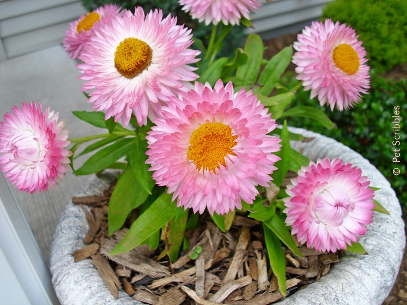 pink strawflowers in a small decorative urn