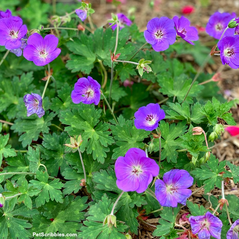Geranium Rozanne flowers