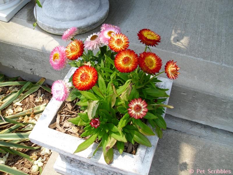 orange and pink strawflowers