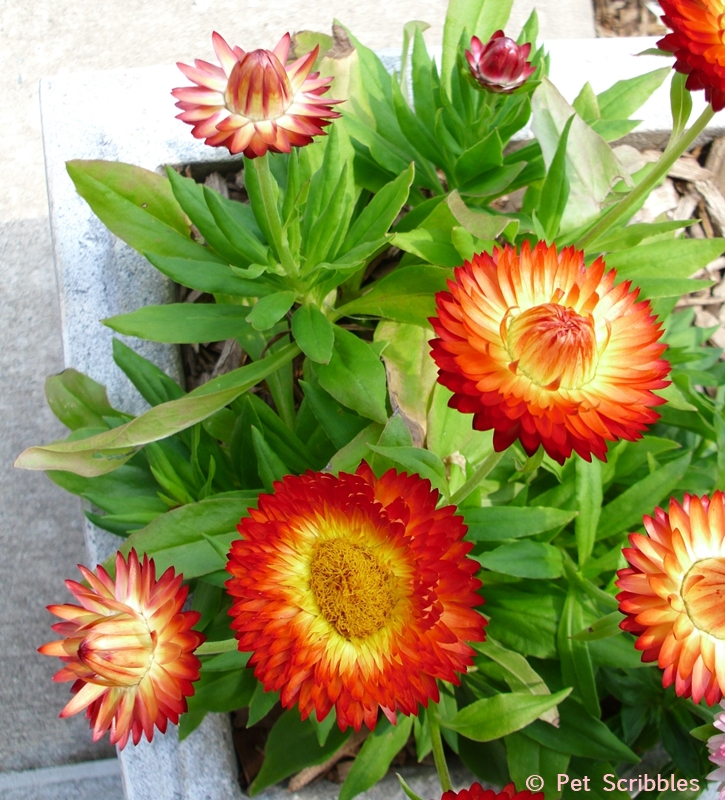 orange strawflowers