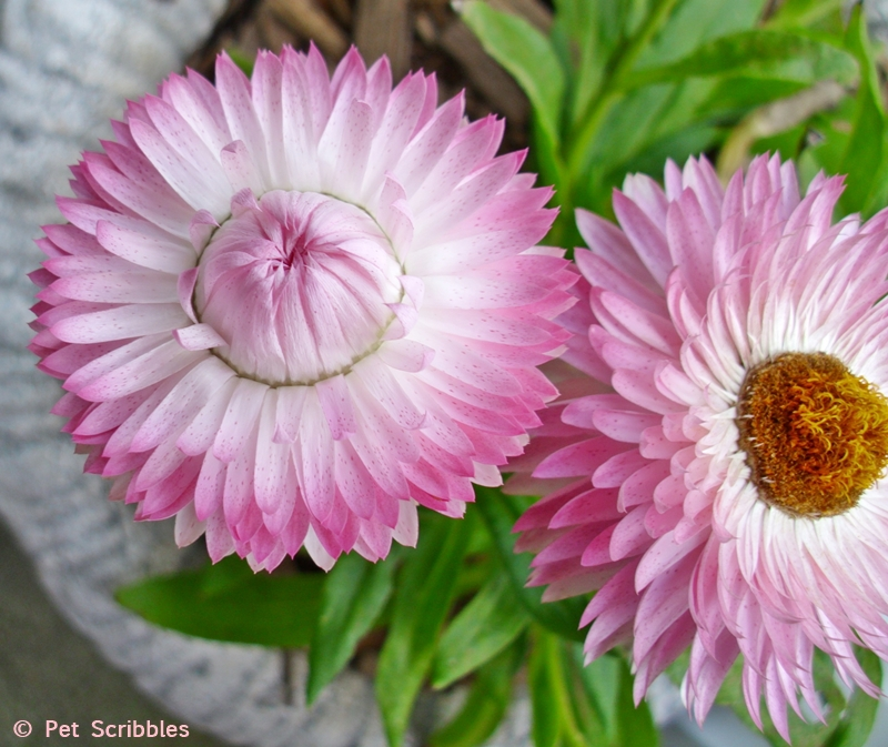 pink stawflowers
