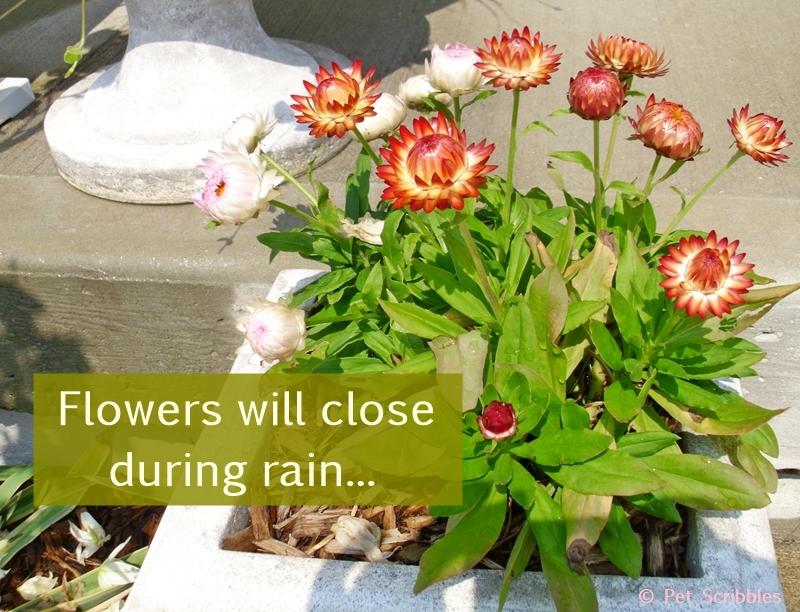 Strawflowers will close up their petals during rain.