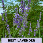 Lavender Phenomenal – the best lavender for heat and humidity!