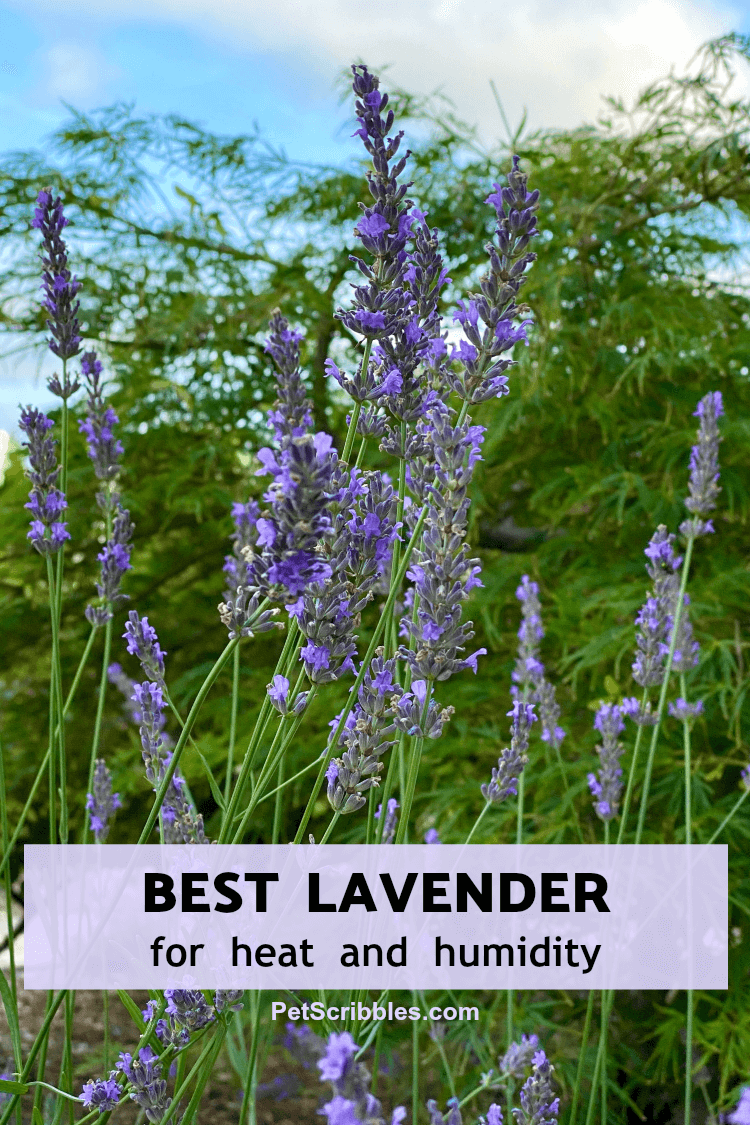 best lavender for heat and humidity