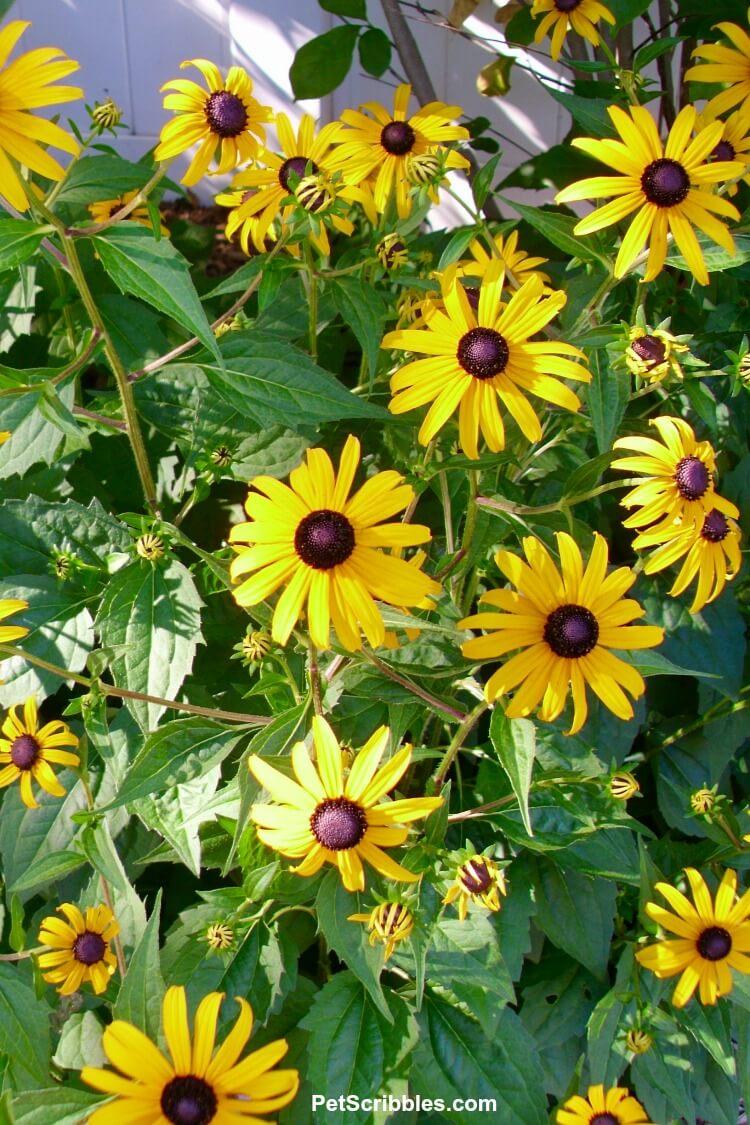 Black Eyed Susans Rudbeckia fulgida Goldsturm flowers