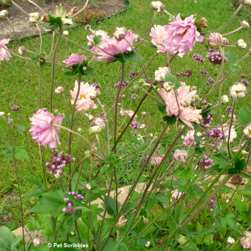 Japanese anemones and Verbena bonariensis