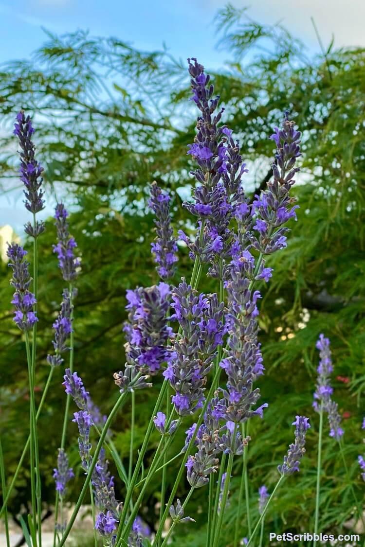 Lavender Phenomenal perennial flowers