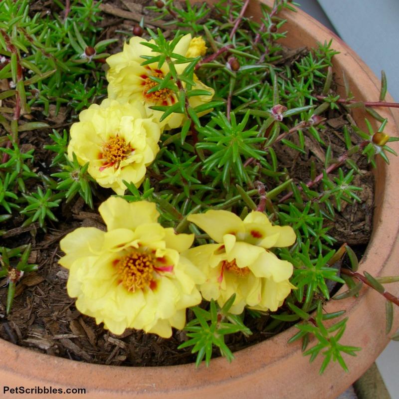 Lemon portulaca double flower variety