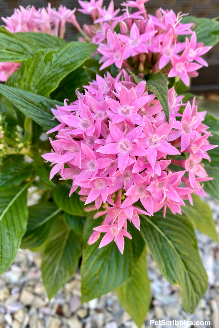 Pentas Lucky Star Pink flowers