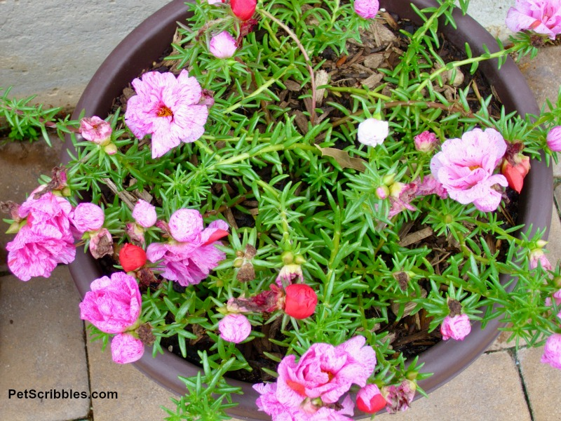 Peppermint Portulaca in a pot container