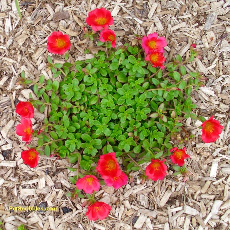 red single-flowered portulaca