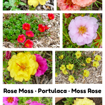 Rose Moss, Portulaca, Moss Rose photo collage of flowers