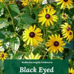 Black Eyed Susans: Rudbeckia fulgida Goldsturm