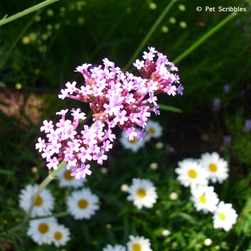 Verbena and Shasta Daisies in the garden