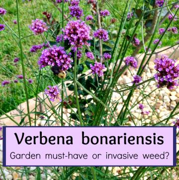 Verbena bonariensis in the garden