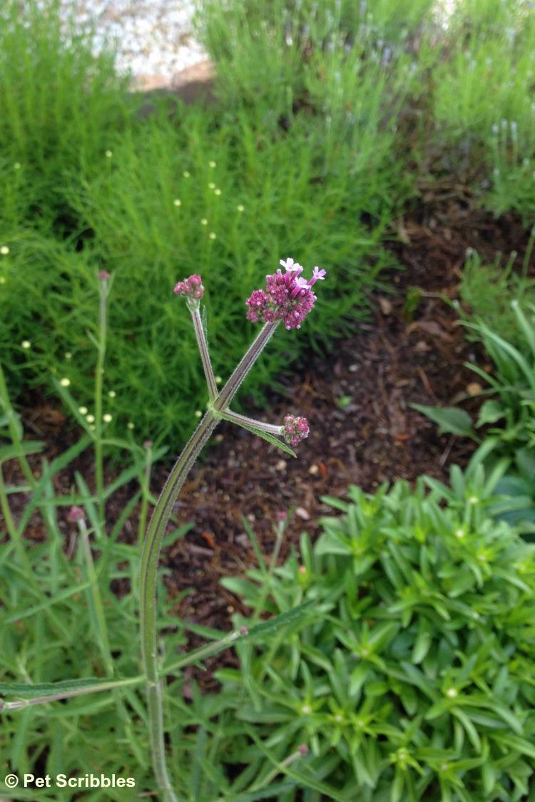 Verbena bonariensis flower buds