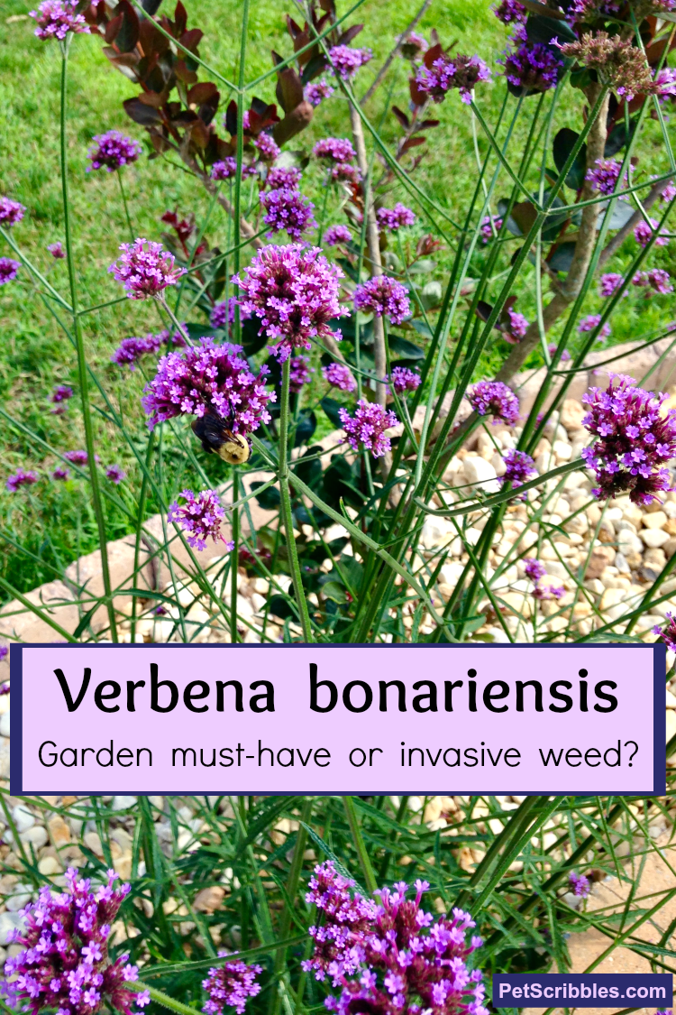 Verbena bonariensis in the garden