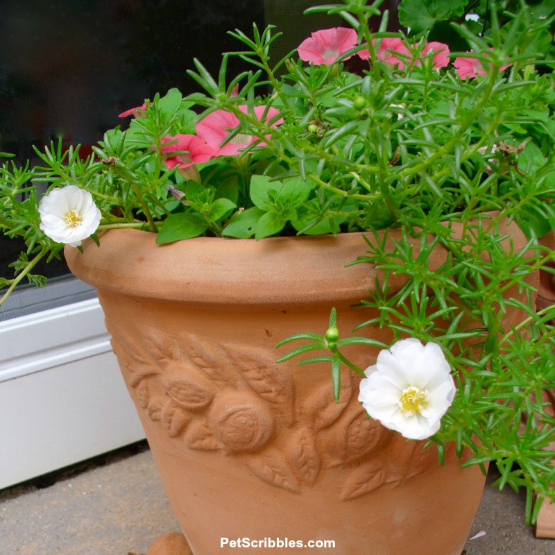 white portulaca with petunias in terracotta pot