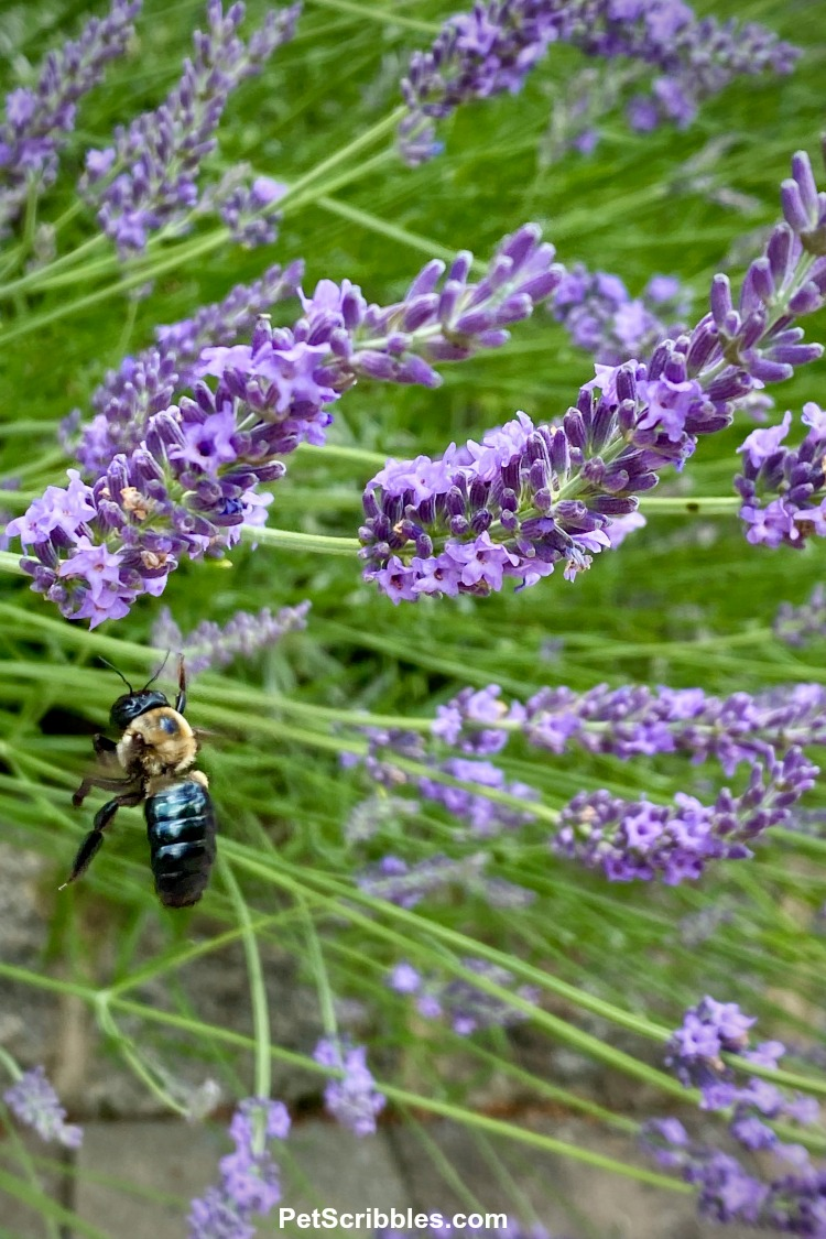 bee buzzing around lavender flowers