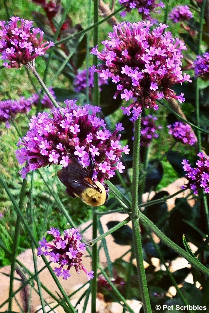 a bee enjoying Verbena flowers