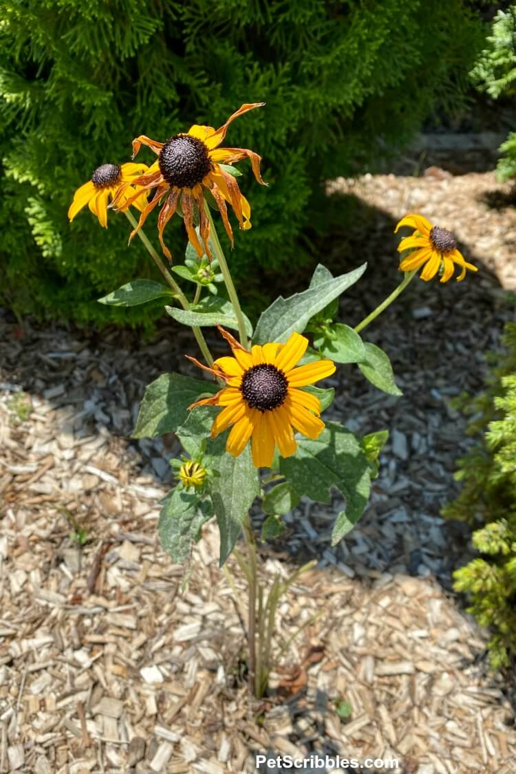 black eyed susans blooming after plants eaten by rabbits