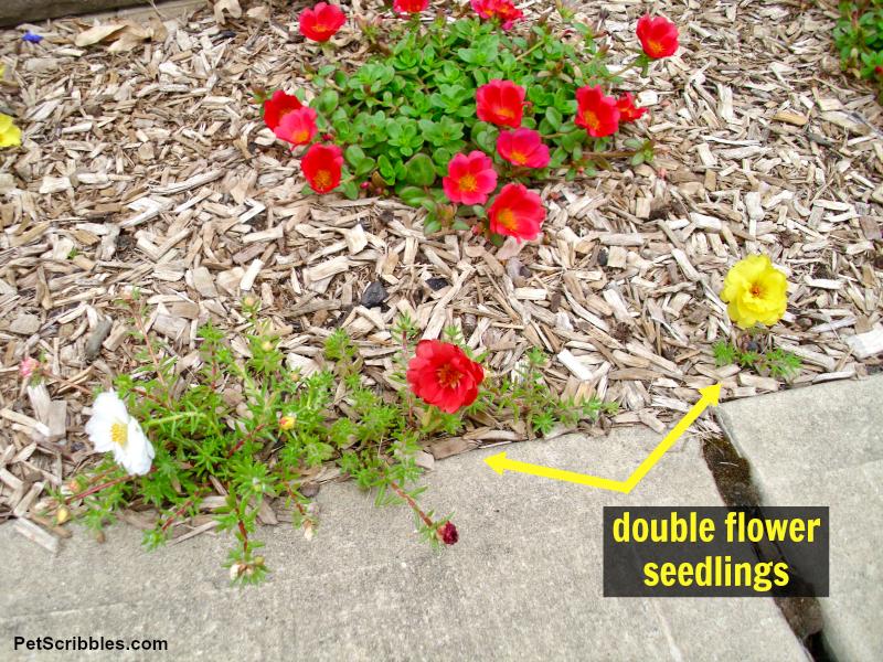 double-flowered Portulaca seedlings