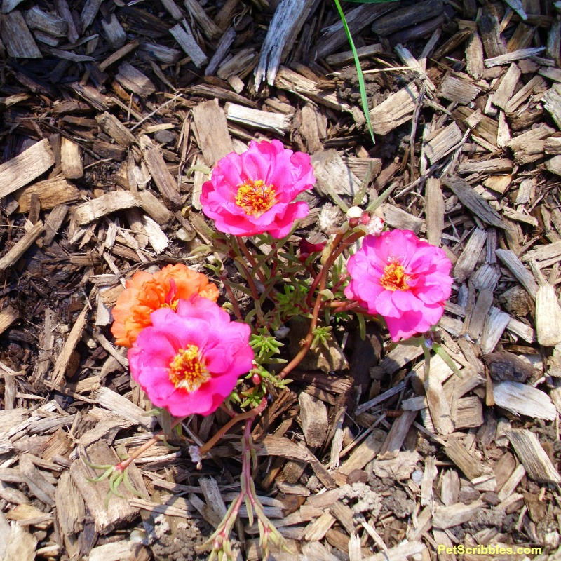 double-flowered portulaca seedling