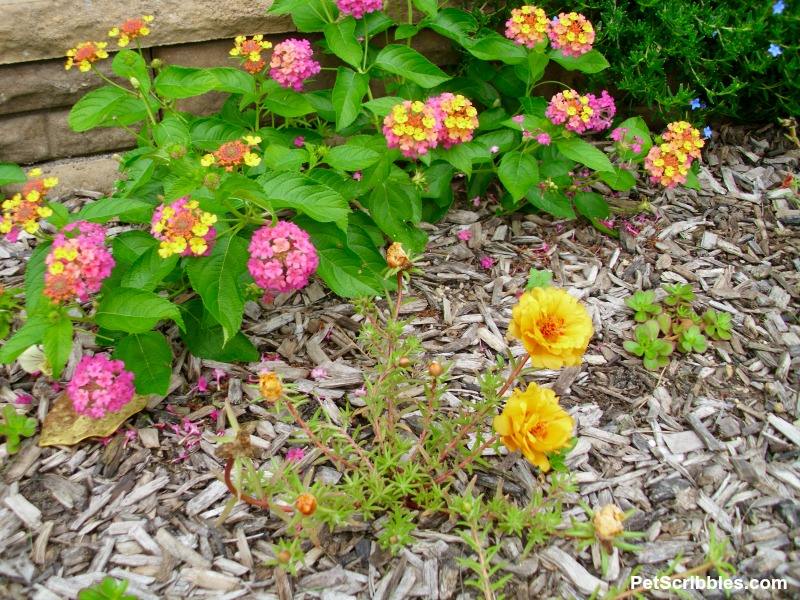 lantana and rose moss portulaca