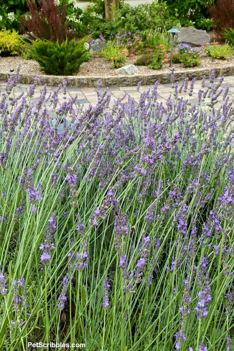 lavender field in your own garden