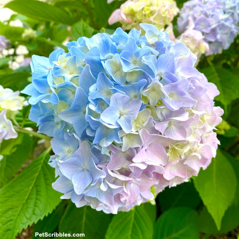 multi-color hydrangea flower in shades of blue, lavender and violet
