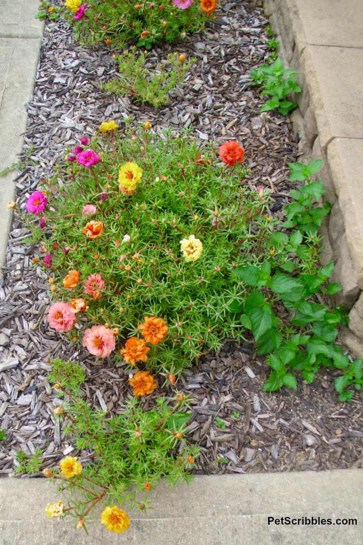 multicolored rose moss Portulaca