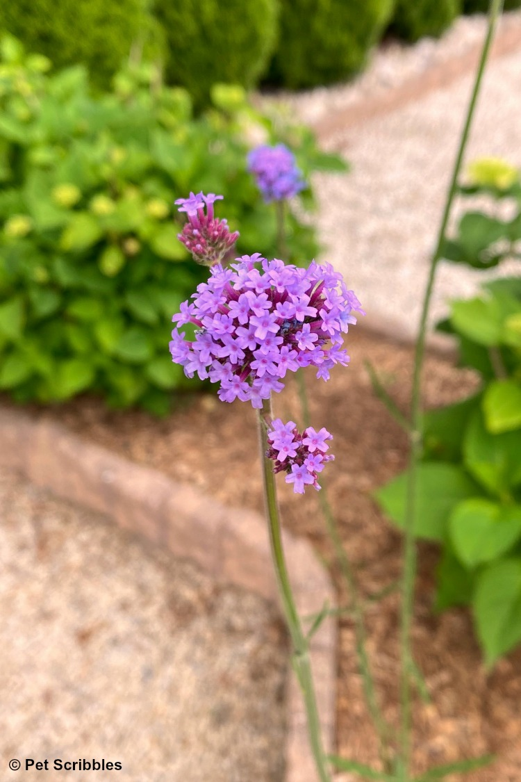 newly opened purple Verbena flower