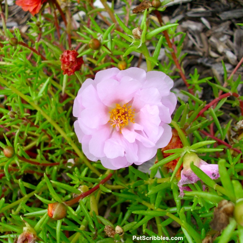 pale pink double-flowered portulaca