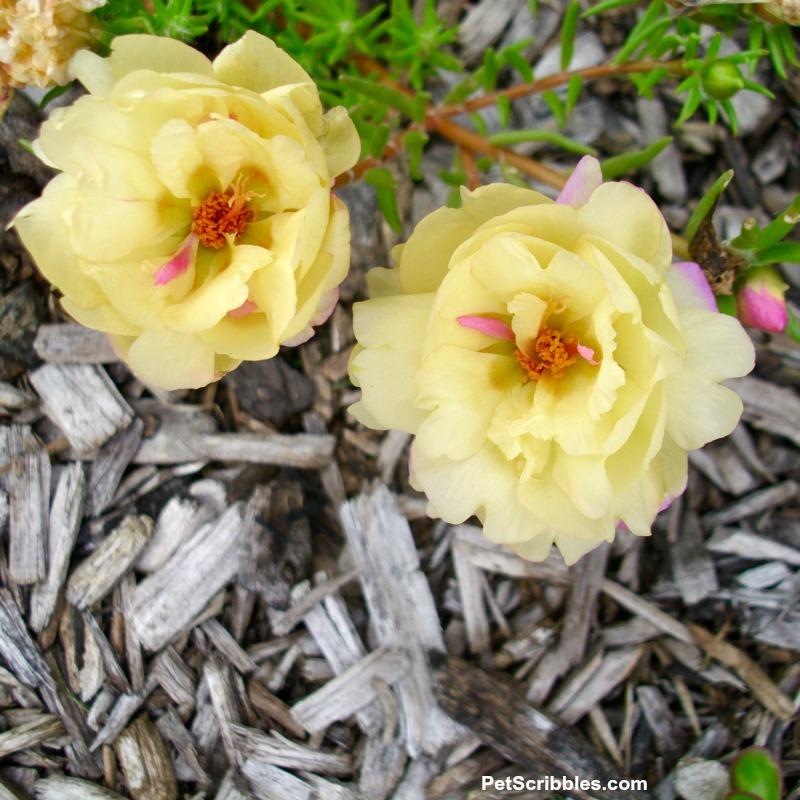 light yellow double-flowered portulaca