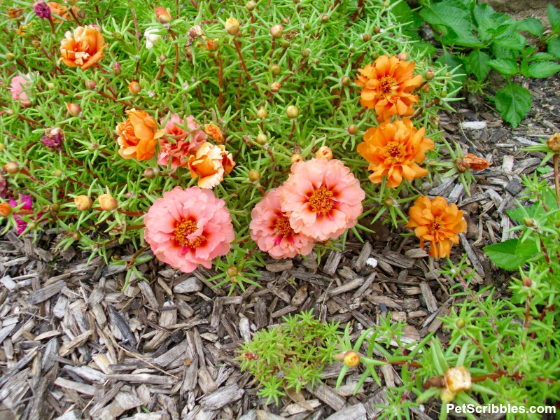 peach and orange portulaca