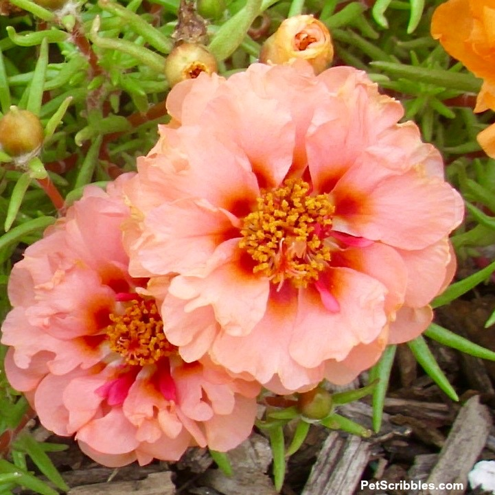 peach double-flowered portulaca