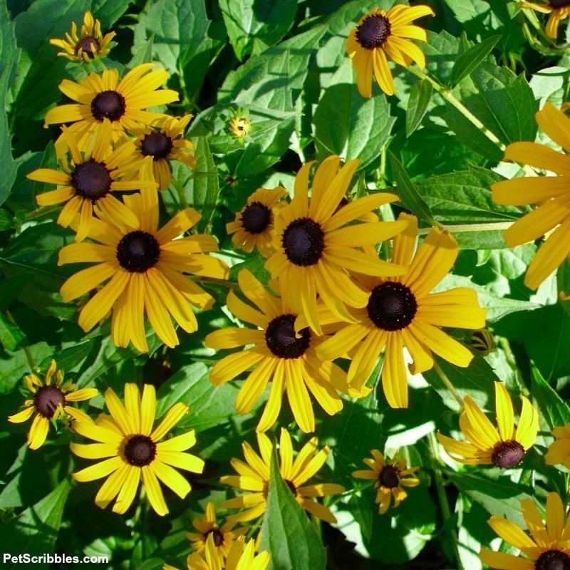 Rudbeckia fulgida Goldsturm perennial black eyed susans