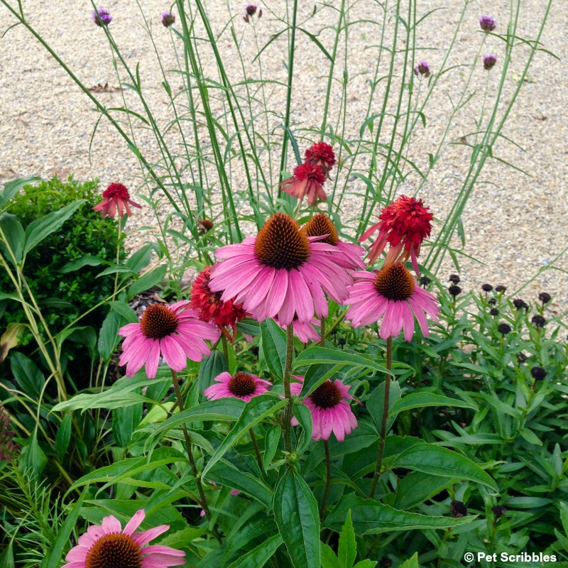 pink coneflowers in the garden