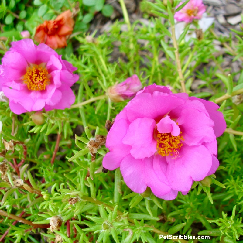 pink double-flowered portulaca