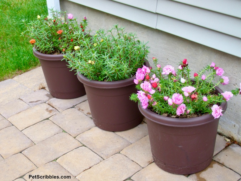 container pots filled with portulaca