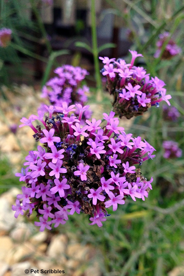 purple tall verbena flowers