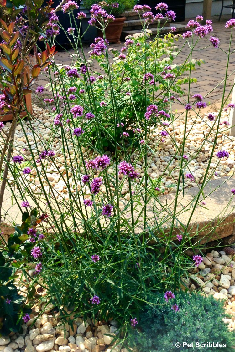 self-seeding flowers of perennial Verbena