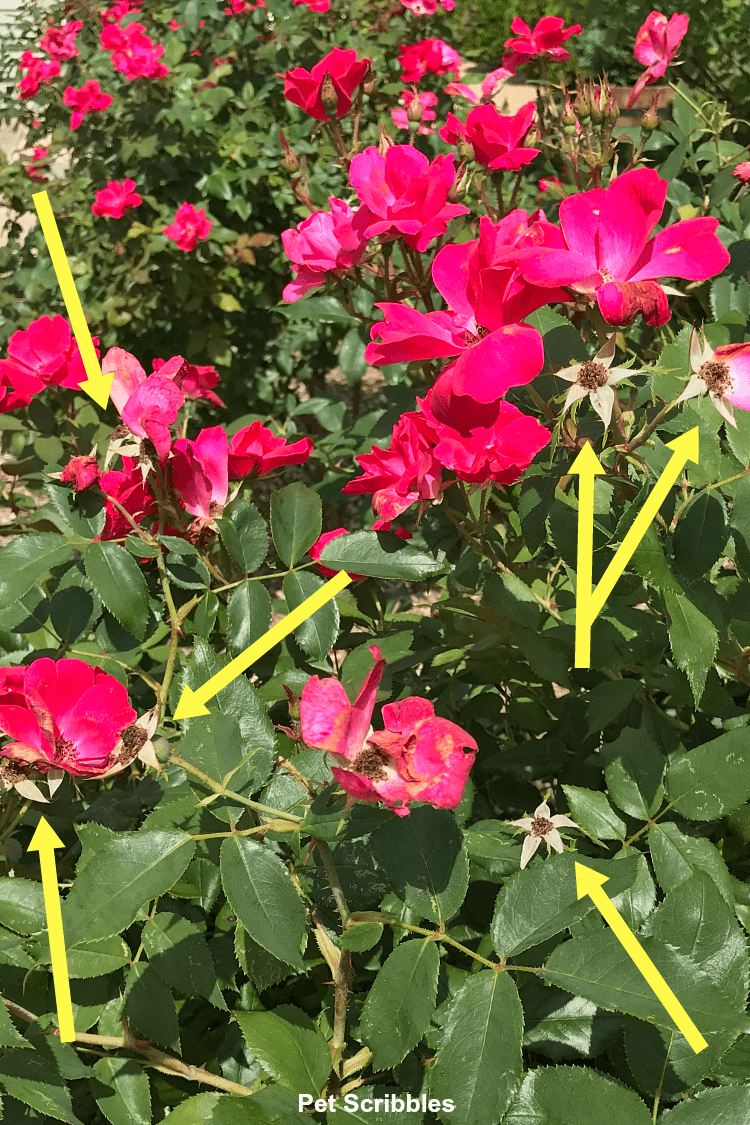 The yellow arrows point to what's left after each Knockout rose finishes blooming.