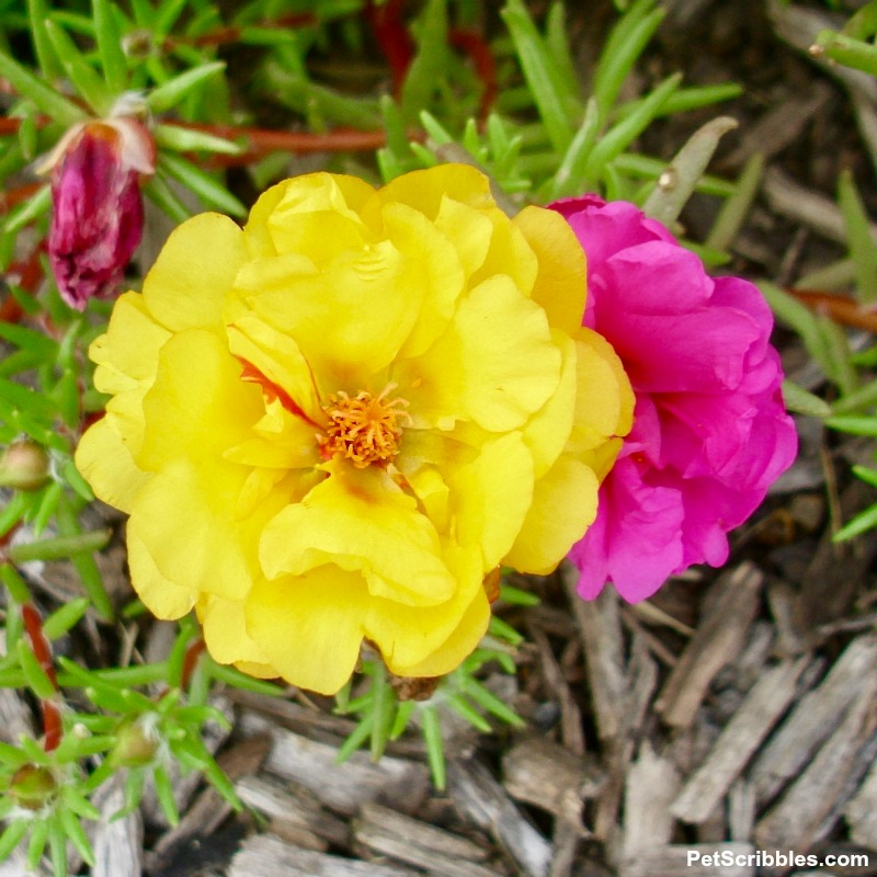 yellow and fuchsia portulaca flowers