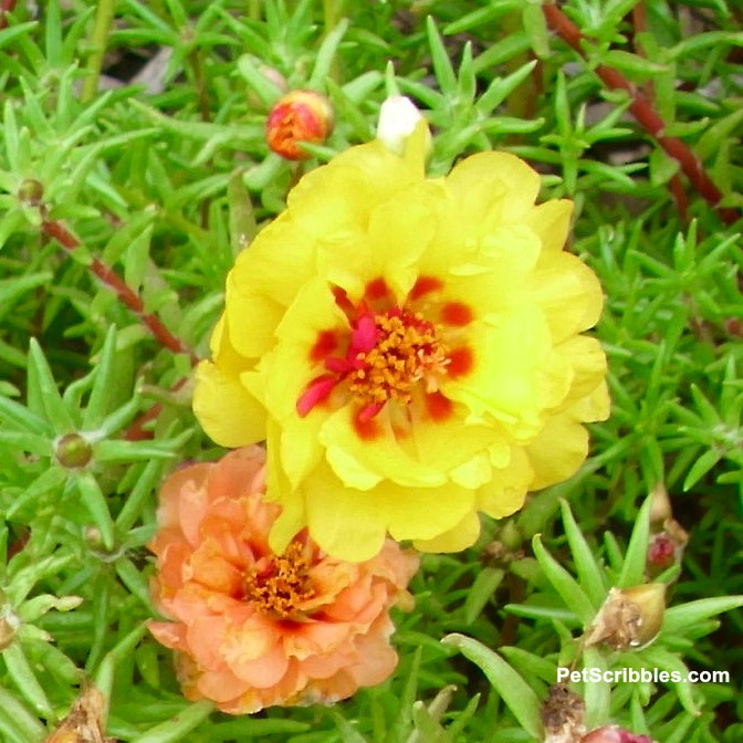 yellow and orange double flower rose moss