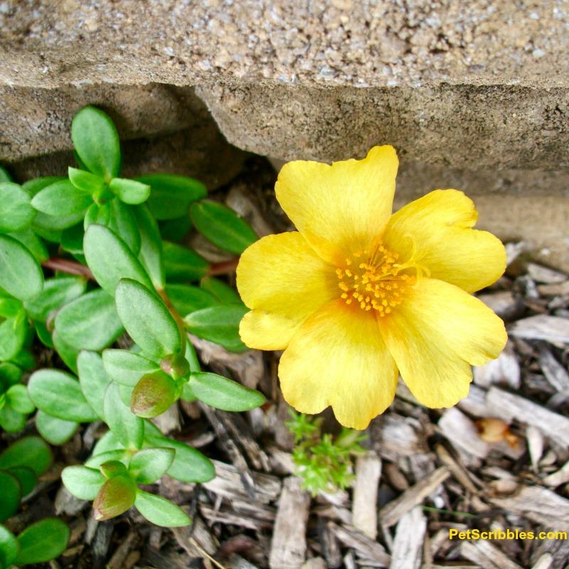 yellow portulaca moss rose seedling