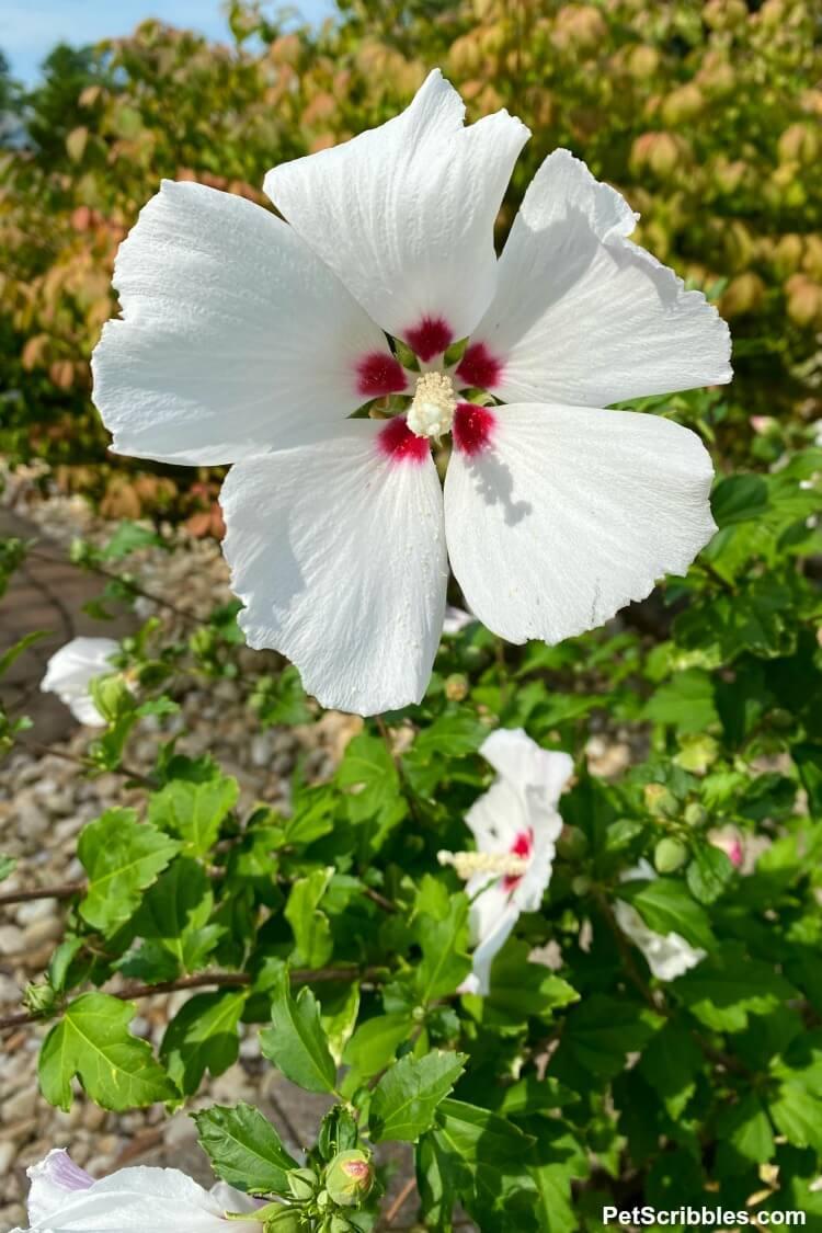 Helene Rose of Sharon flower