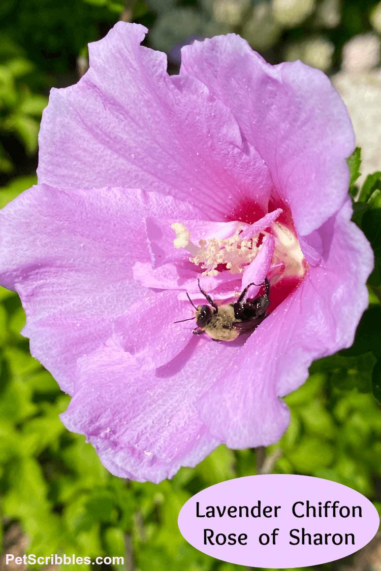 Lavender Chiffon Rose of Sharon