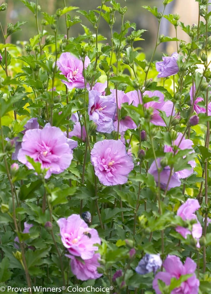 Proven Winners Lavender Chiffon shrub