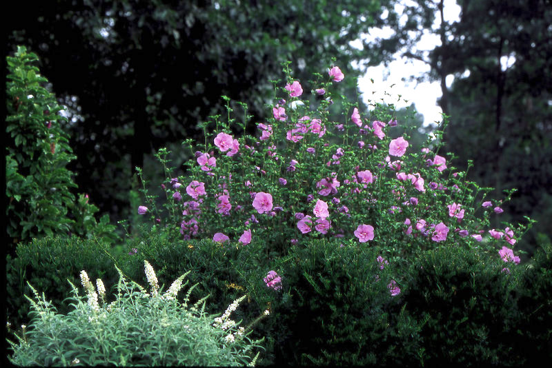 Proven Winners Lavender Rose of Sharon shrub